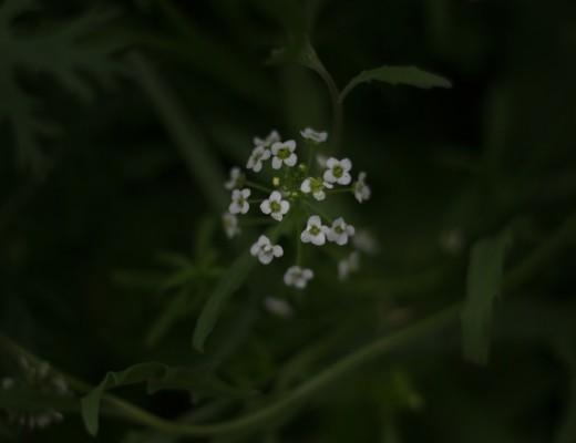 Low Key Blume