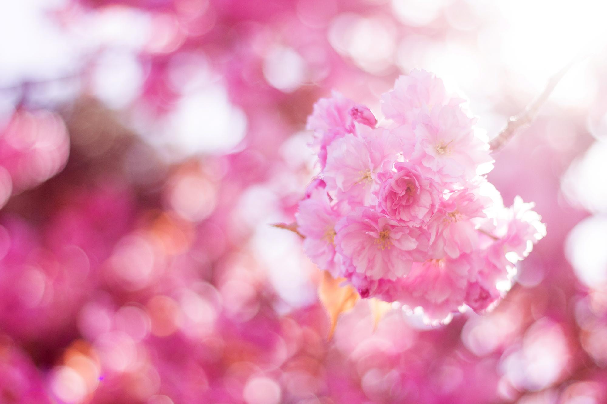 Japanische Zierkirsche Blüte