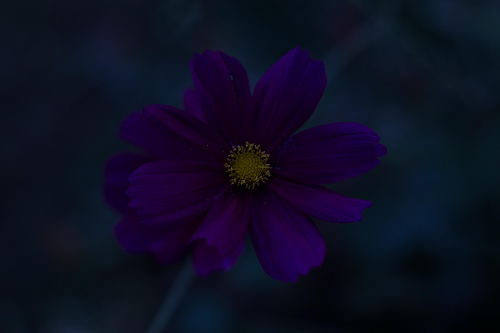 Unterbelichtete Blume