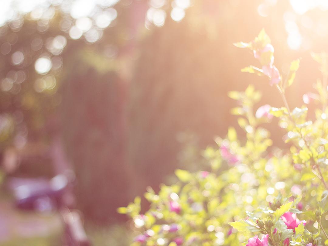 Gegenlicht Nachmittag Rosenbusch